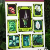 Center: Corpse Flower; Relatives (counter clockwise from top left): Flamingo Lily, Golden Pathos, Dumb Cane, Jack-in-the-Pulpit, Swiss Cheese Plant, Peace Lily, Calla Lily