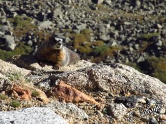 Marmot says hello.