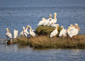 unsplash pelicans