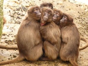 baboons-4371_1920