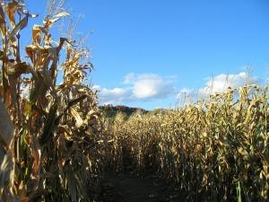 corn-418095_1920