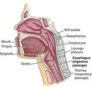 esophagus freedictionary