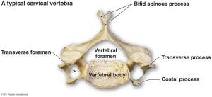Diagram Cervical Vertebrae Cervical Bones Diagram The Vertebral Column - Human Anatomy Labelled